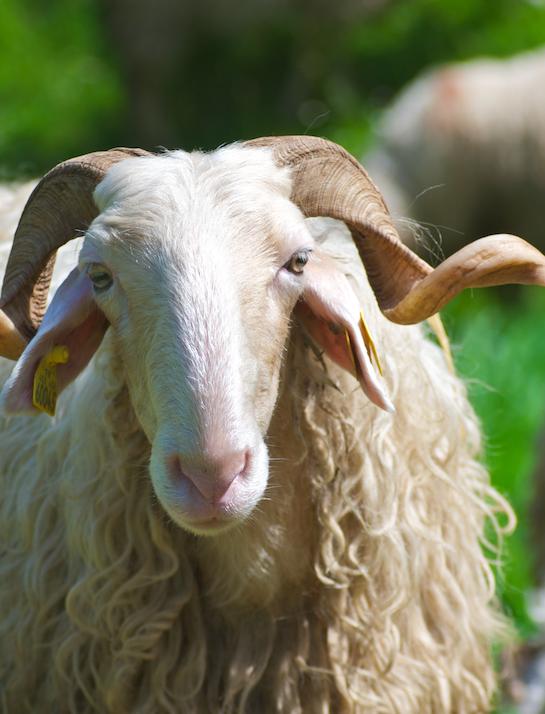 Brebis basco béarnaise - vétérinaires du piémont